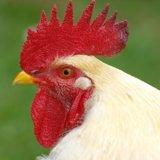 鶏 とさか